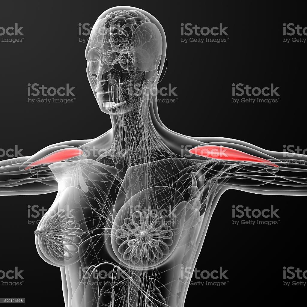 medical  illustration of the Anterior Deltoideus - side view stock photo