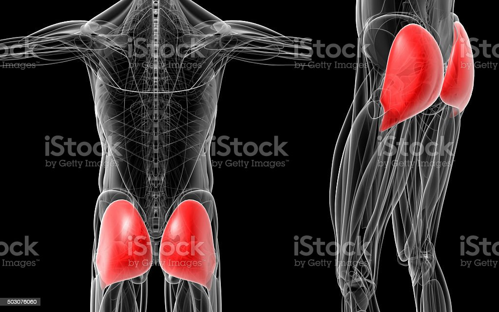 medical  illustration of the gluteus maximus stock photo
