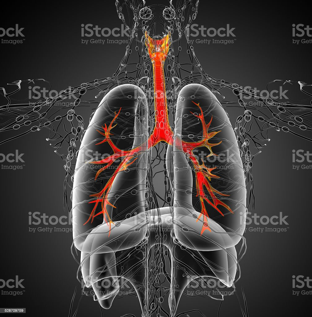 3D medical illustration of the male bronchi stock photo