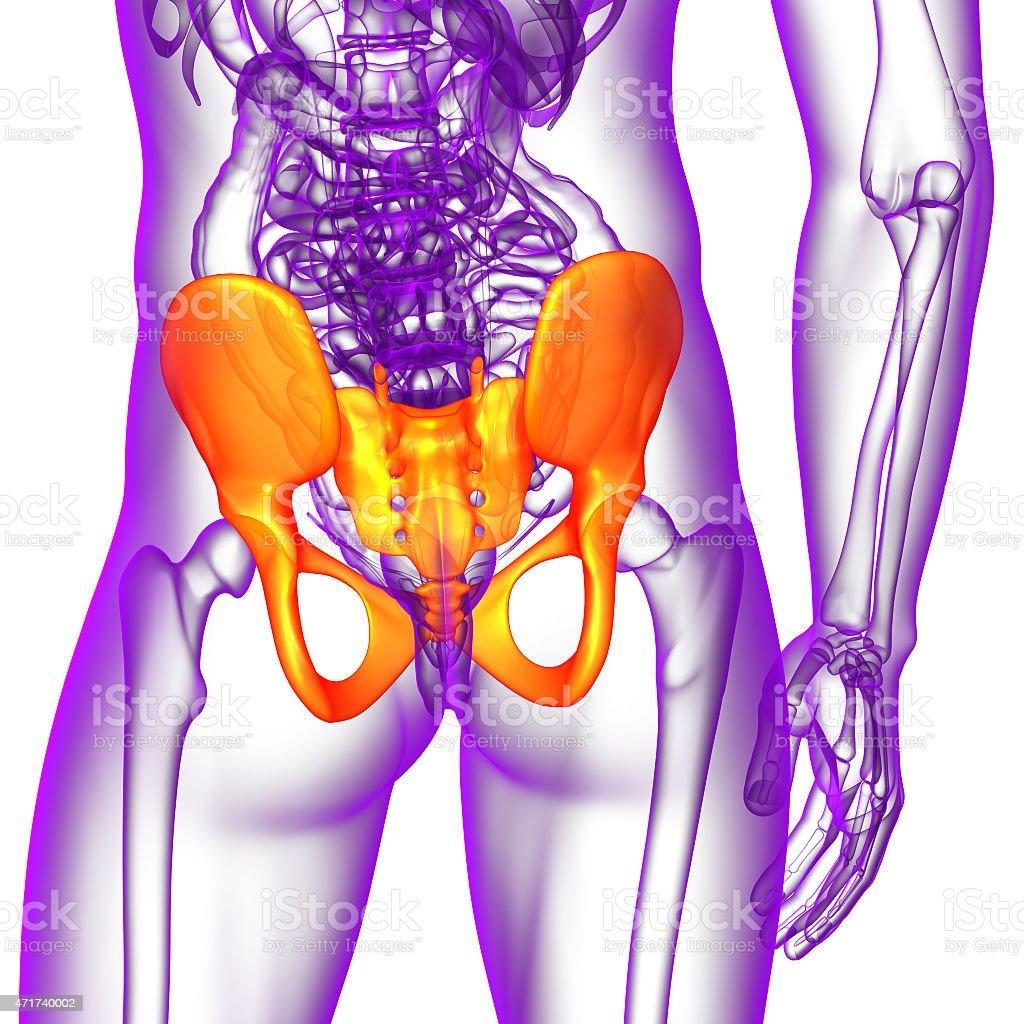 3 D Medical Ilustración De La Pelvis ósea Stock Foto e Imagen de ...