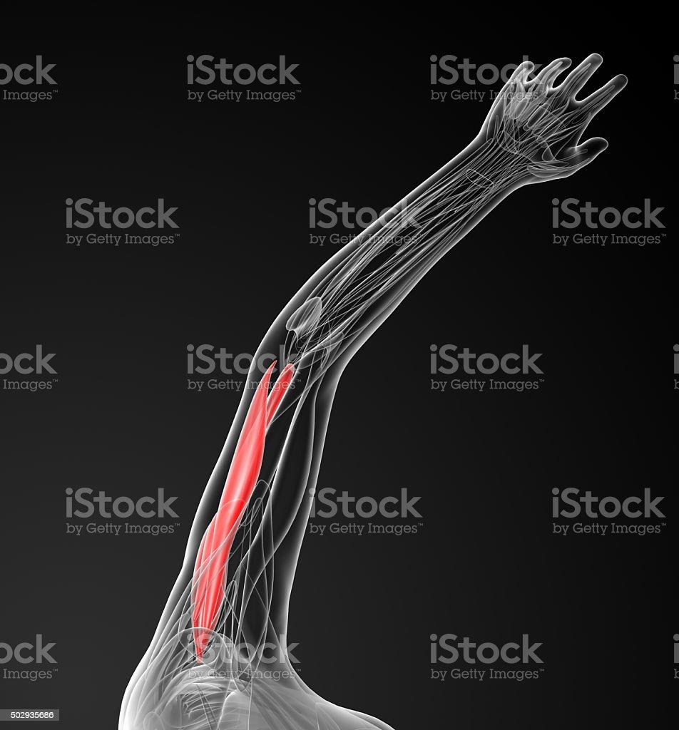 medical  illustration of the Triceps Brachii stock photo