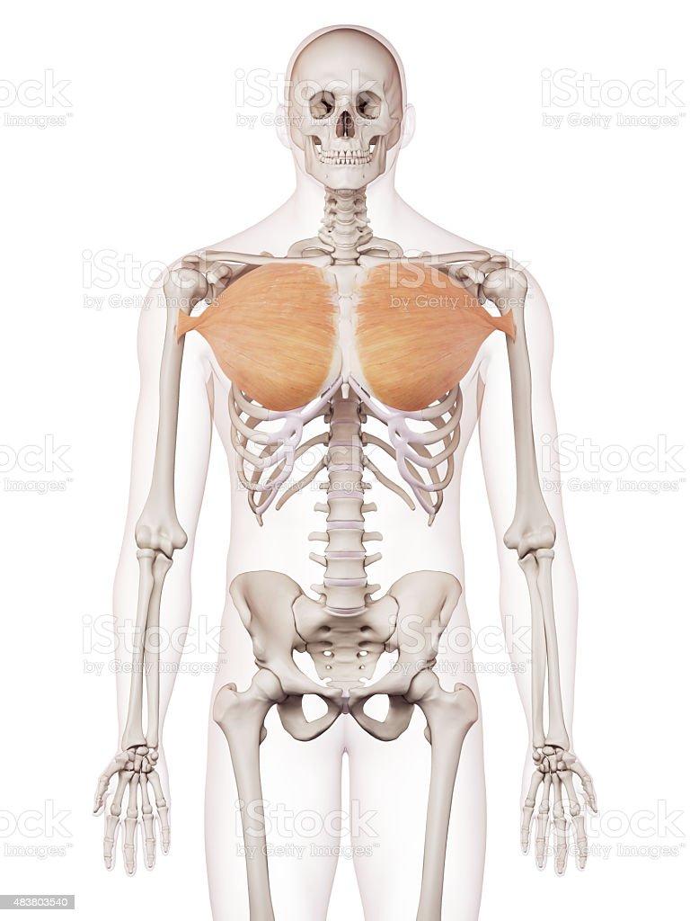 Charmant Brustmuskeln Fotos - Anatomie Und Physiologie Knochen ...