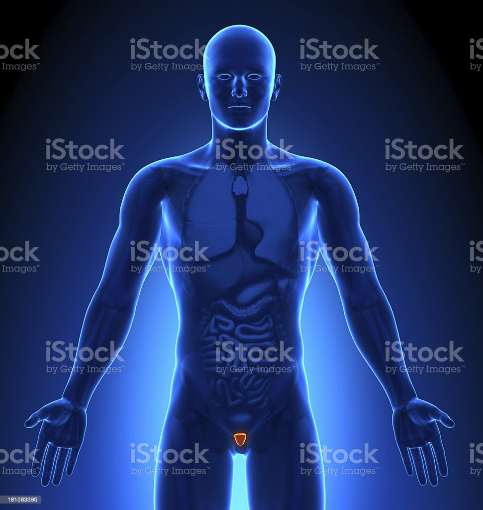 Medical Imaging - Male Organs Prostate royalty-free stock photo