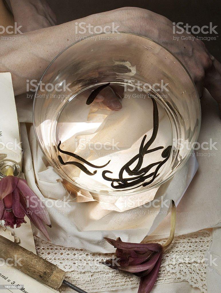medical leeches royalty-free stock photo