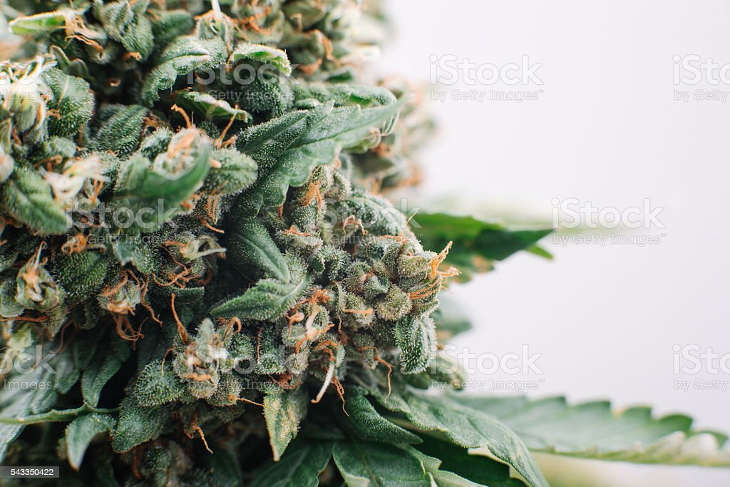 medical marijuana flowers plants stock photo