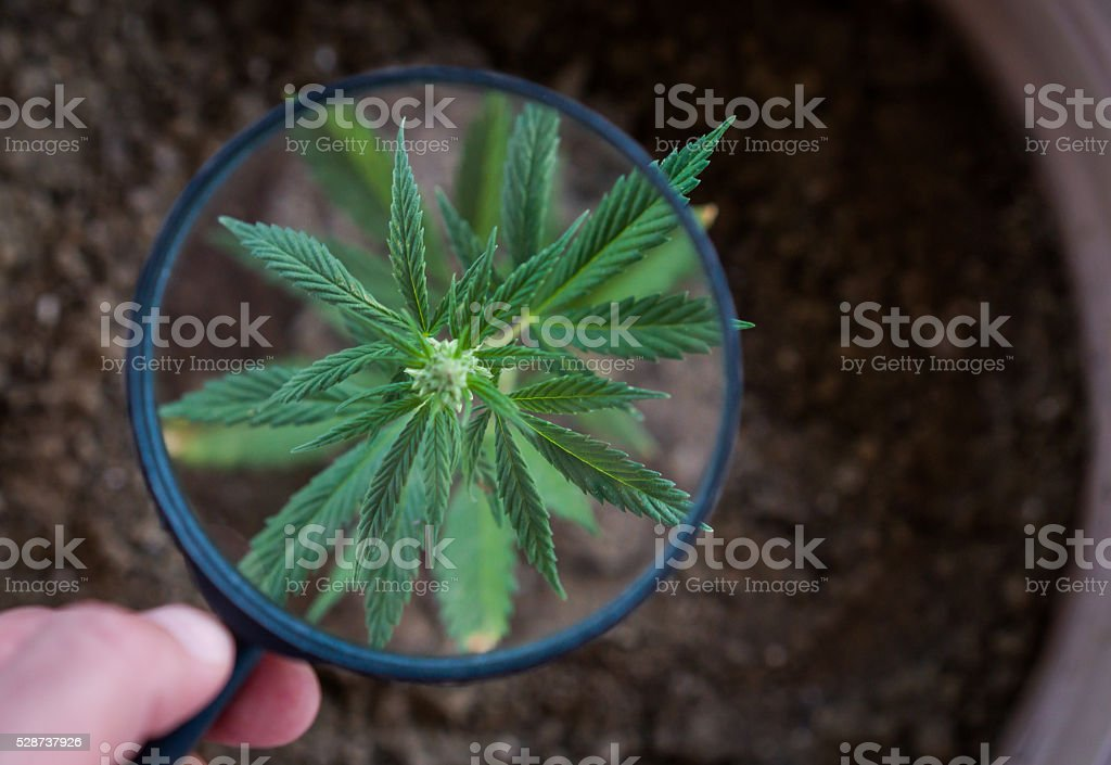 medical marijuana plant stock photo