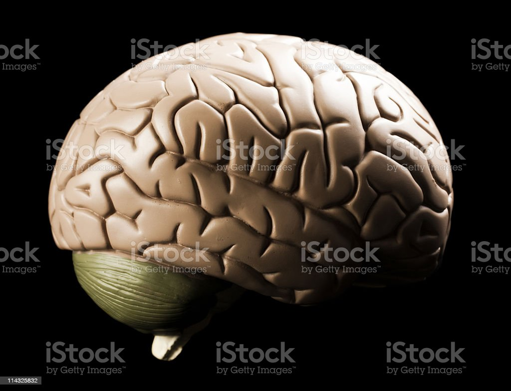 Medical model of human brain angled rear viewpoint stock photo