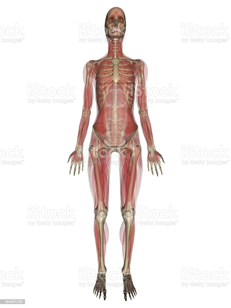 Medical model of the human body royalty-free stock photo