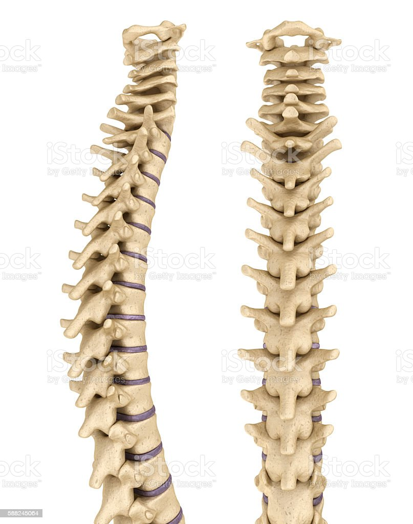 Medically Accurate Illustration Of The Human Spine 3d Render Stock