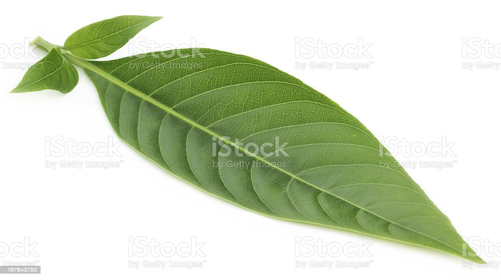 Medicinal Basak leaf stock photo
