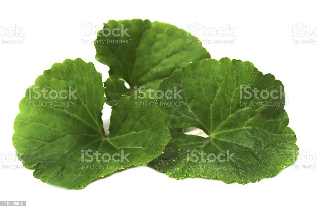 medicinal herbal thankuni leaves stock photo