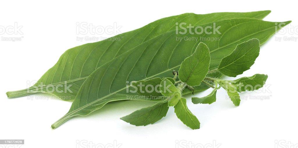 Medicinal herbs – Tulsi and Basak leaves stock photo