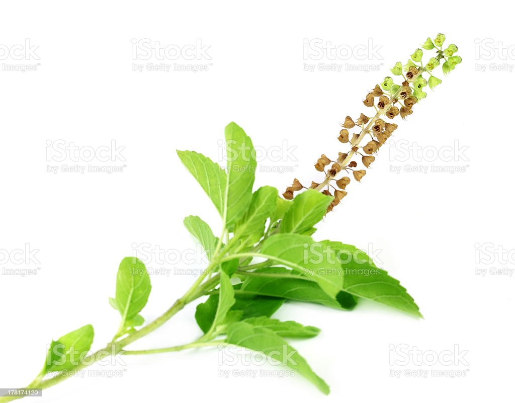 Medicinal holy basil or tulsi leaves and flowers royalty-free stock photo