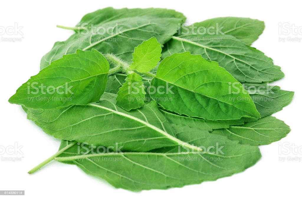 Medicinal holy basil or tulsi leaves stock photo