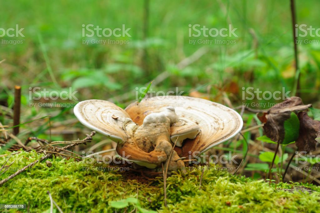 medicinal mushrooms grow in autumn forest stock photo