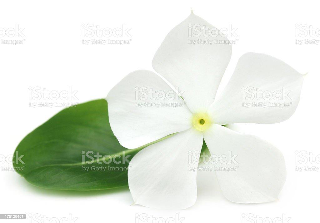 Medicinal Nayantara royalty-free stock photo