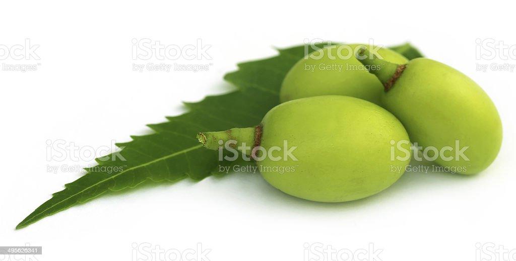 Medicinal neem fruits stock photo