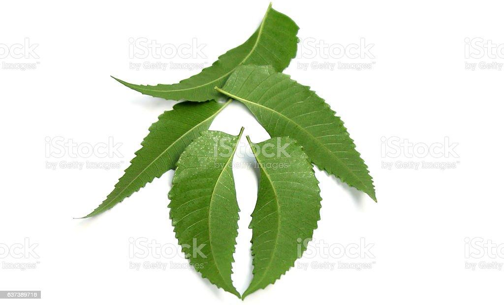 Medicinal Neem leaf stock photo