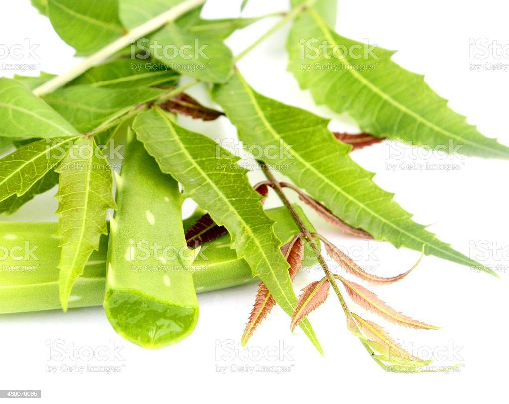 Margousier feuilles médicinales photo libre de droits