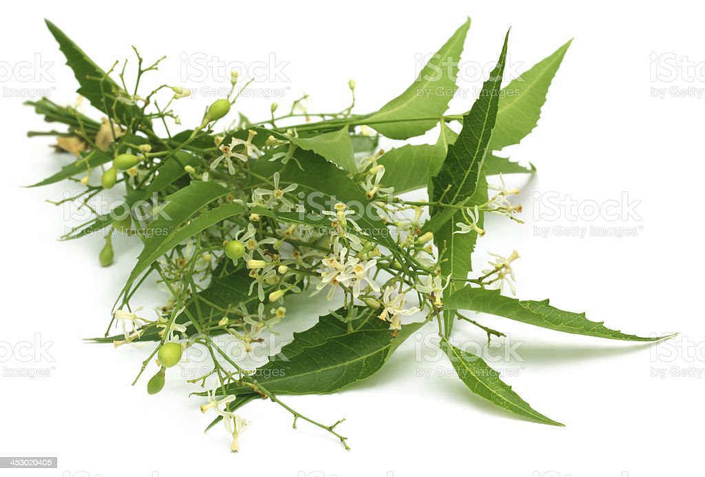 Medicinal neem leaves with flower stock photo