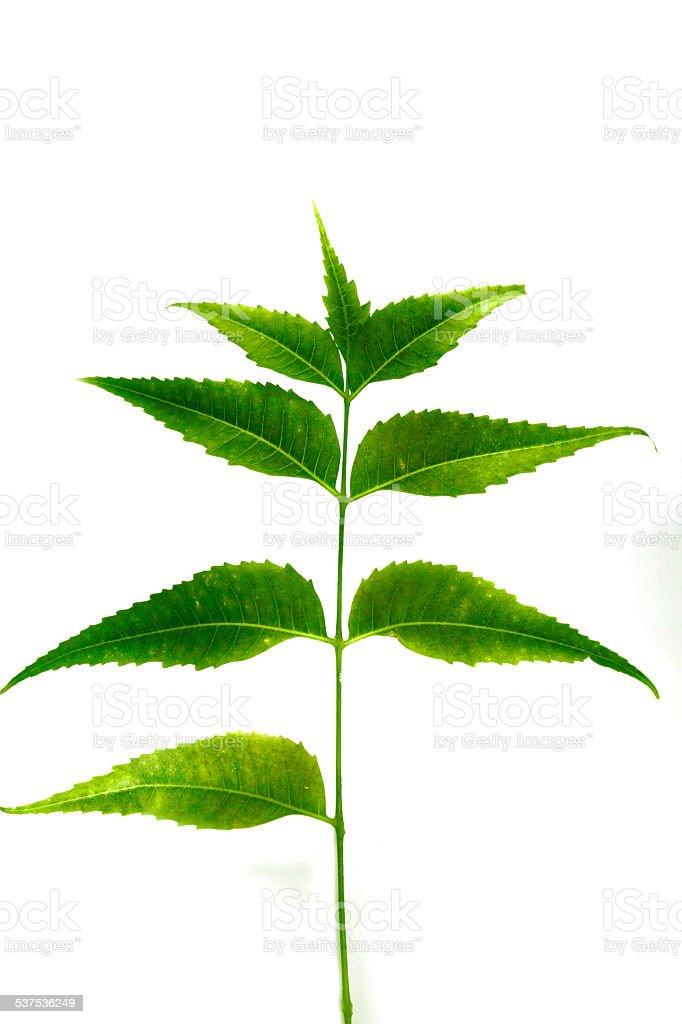 Medicinal Neem leaves-Azadirachta indica stock photo