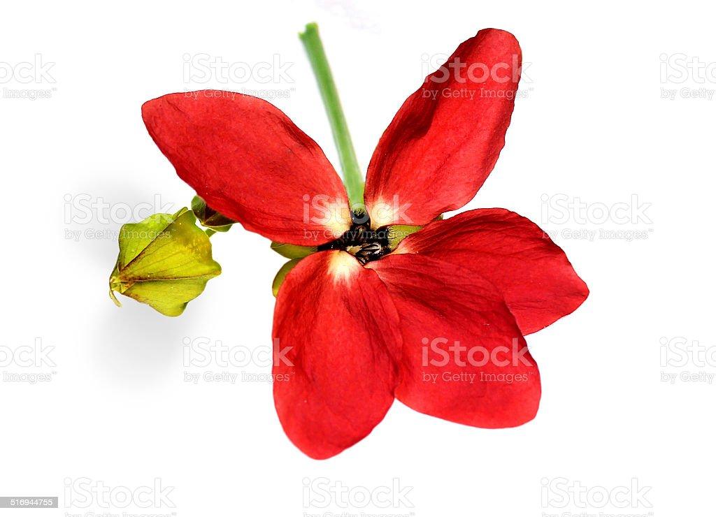 Fleur médicinale Olatkamba photo libre de droits
