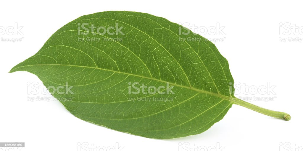 Medicinal Paederia foetida stock photo