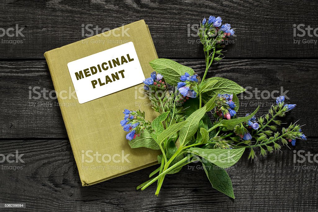 Medicinal plant comfrey and directory medicinal plant stock photo