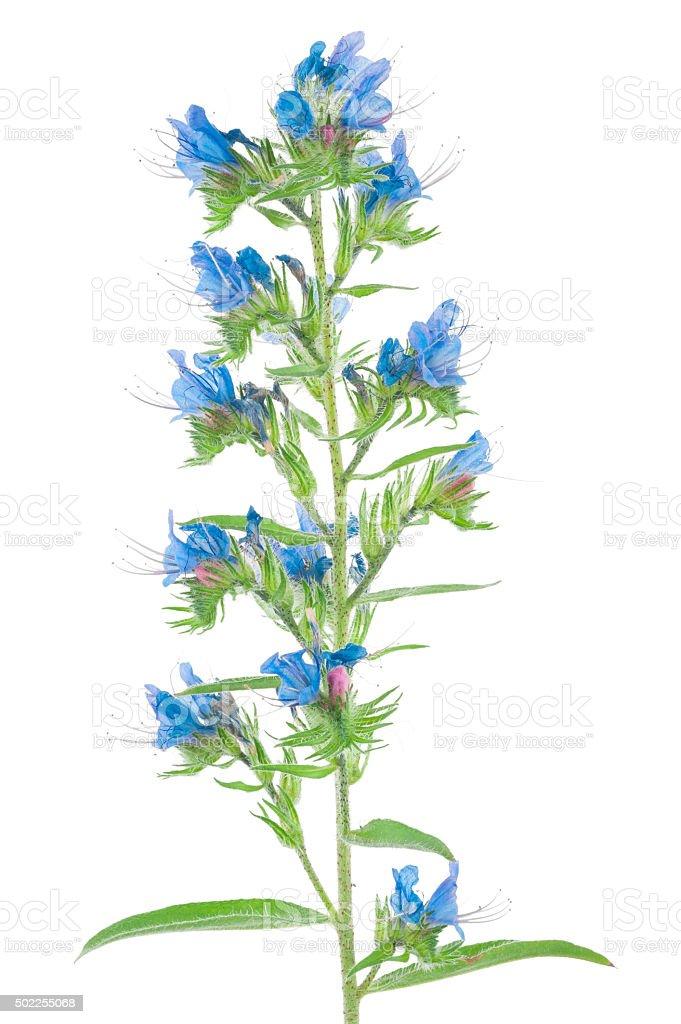 Medicinal plant: Echium vulgare stock photo