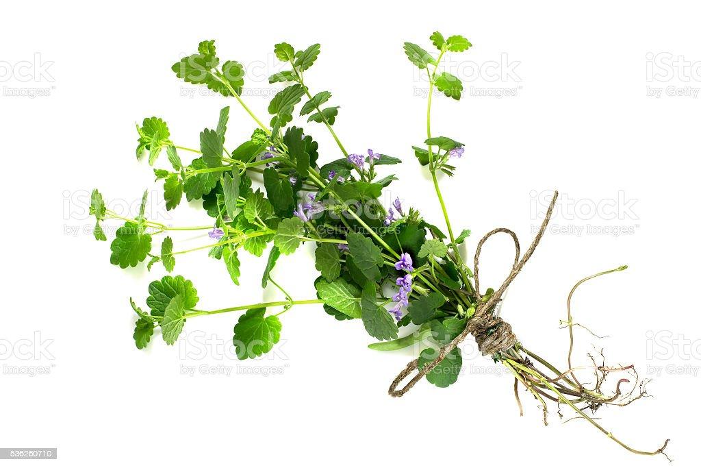 Medicinal plant Glechoma hederacea stock photo