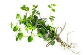 Medicinal plant Glechoma hederacea