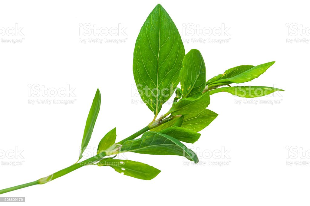 Medicinal plant. Knotweed or polygonum aviculare stock photo