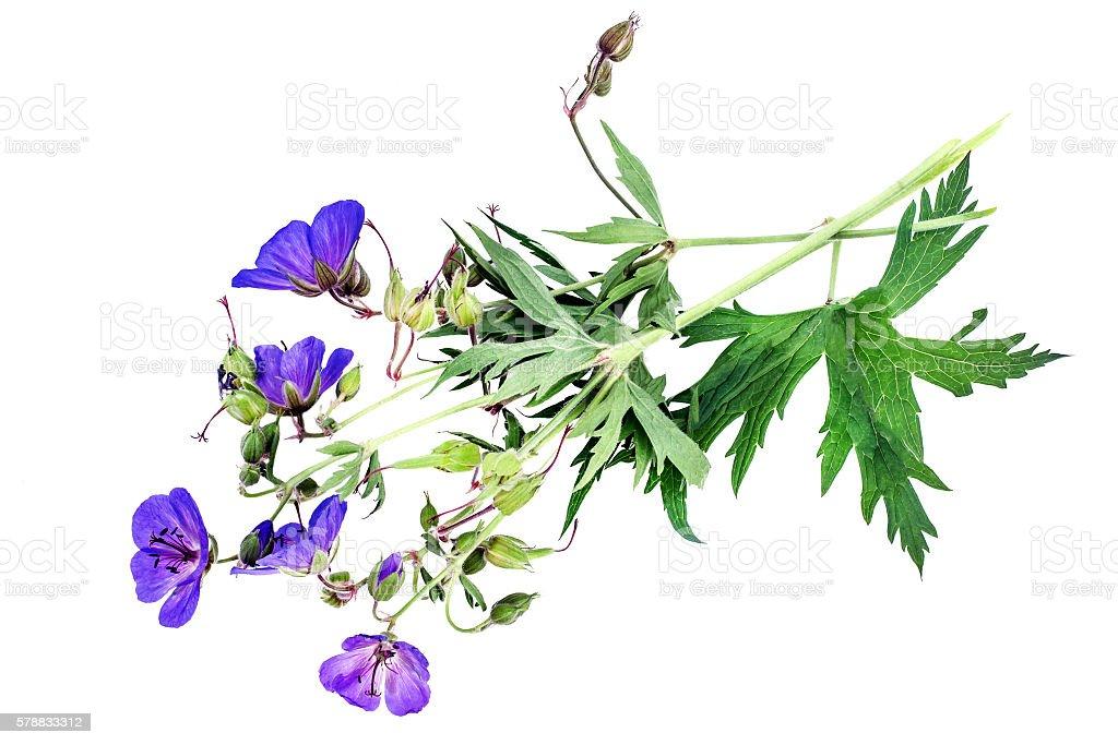 Medicinal plant Meadow geranium (Geranium pratense) stock photo