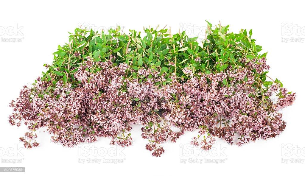 Medicinal plant: Origanum vulgare stock photo