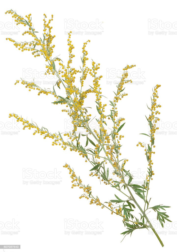 Medicinal plant. Sagebrush stock photo