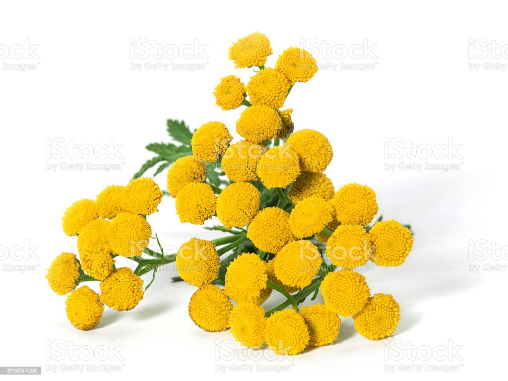 Medicinal plant tansy (Tanacetum vulgare) isolated on a white background stock photo