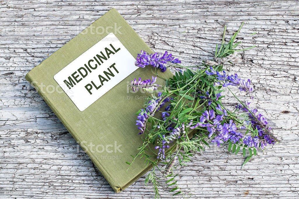 Medicinal plant Vicia cracca and directory medicinal plant stock photo