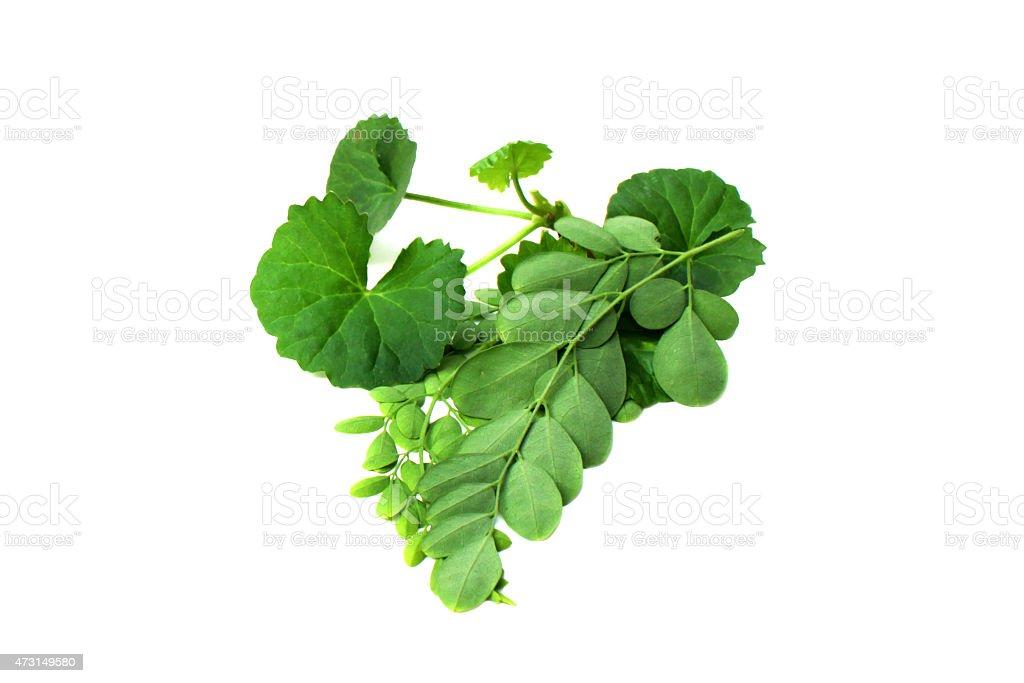 moringa comestibles plantes médicinales Thankuni & feuilles photo libre de droits