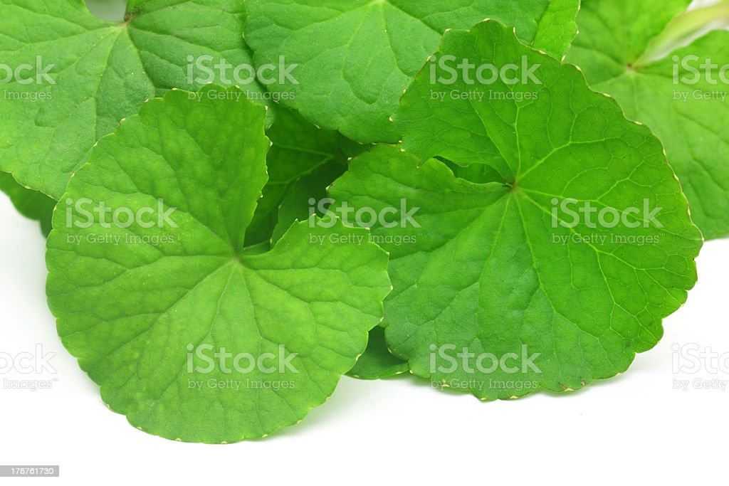 Medicinal thankuni leaves royalty-free stock photo