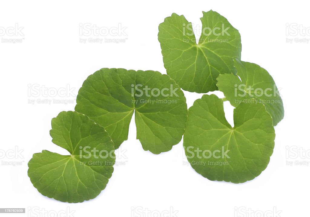 Medicinal thankuni leaves royalty-free stock photo