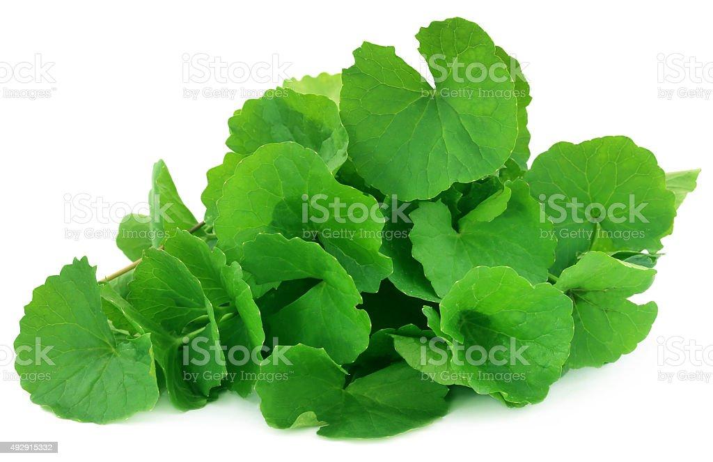 Medicinal thankuni leaves stock photo