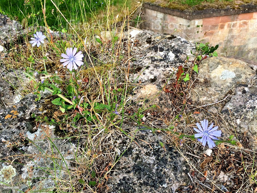 Medieval wall with Chicory stock photo