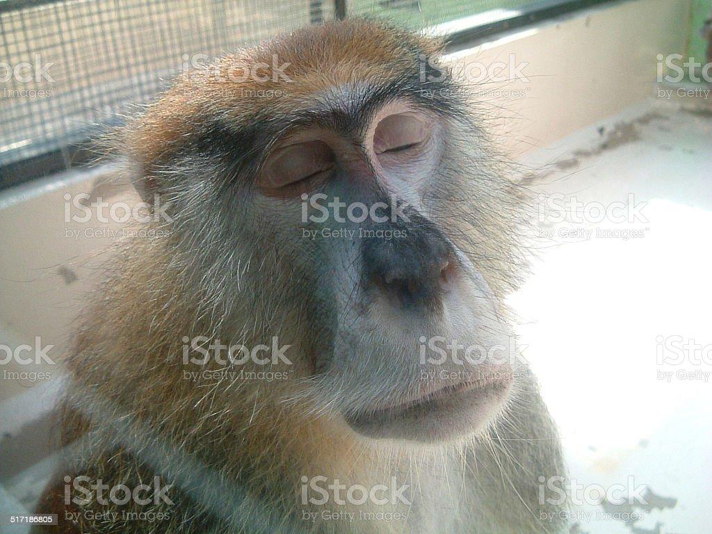 Meditando en mono foto de stock libre de derechos