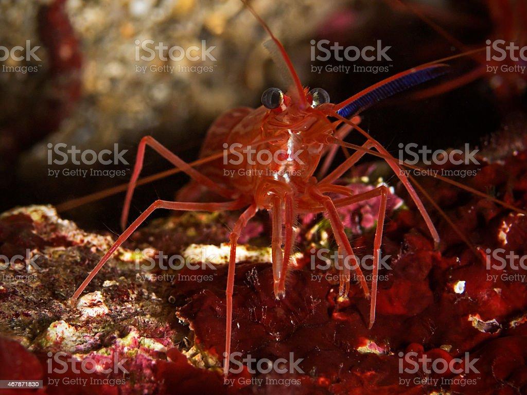 Mediterranean cleaner shrimp, Mittelmeer-Putzergarnele (Lysmata seticaudata) stock photo