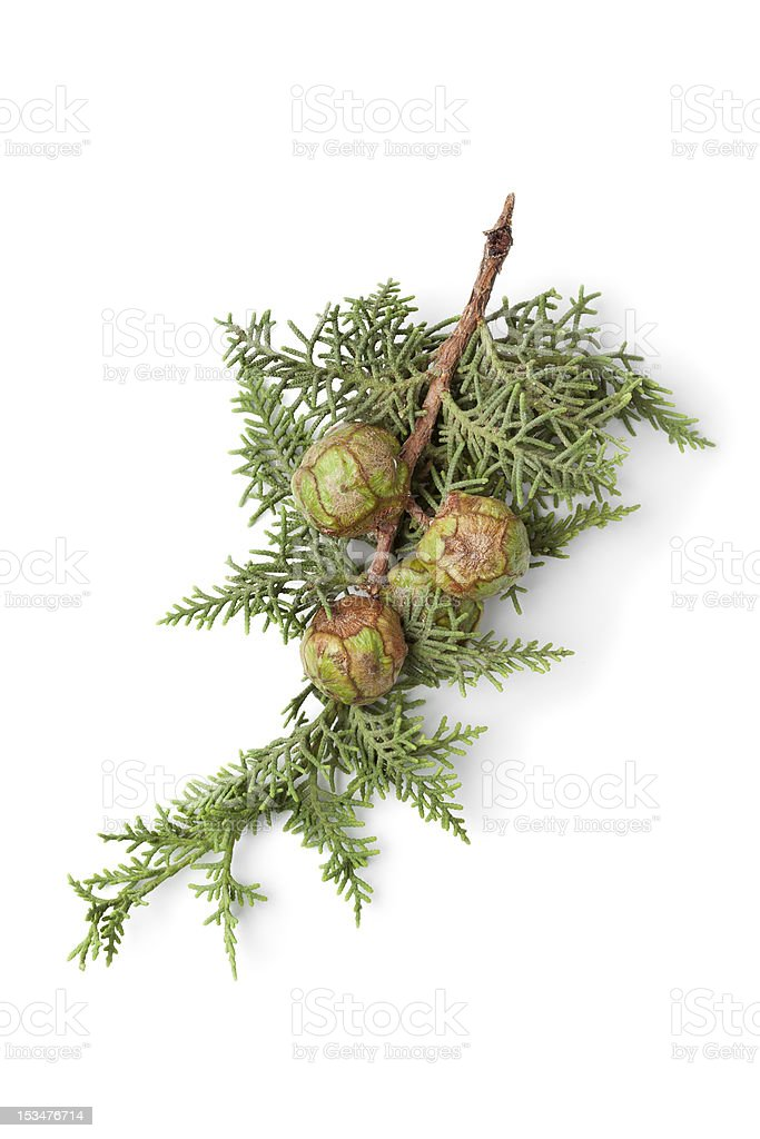 Mediterranean Cypress cones and foliage stock photo