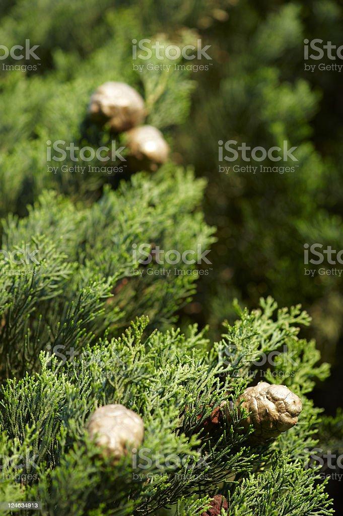 mediterranean cypress stock photo