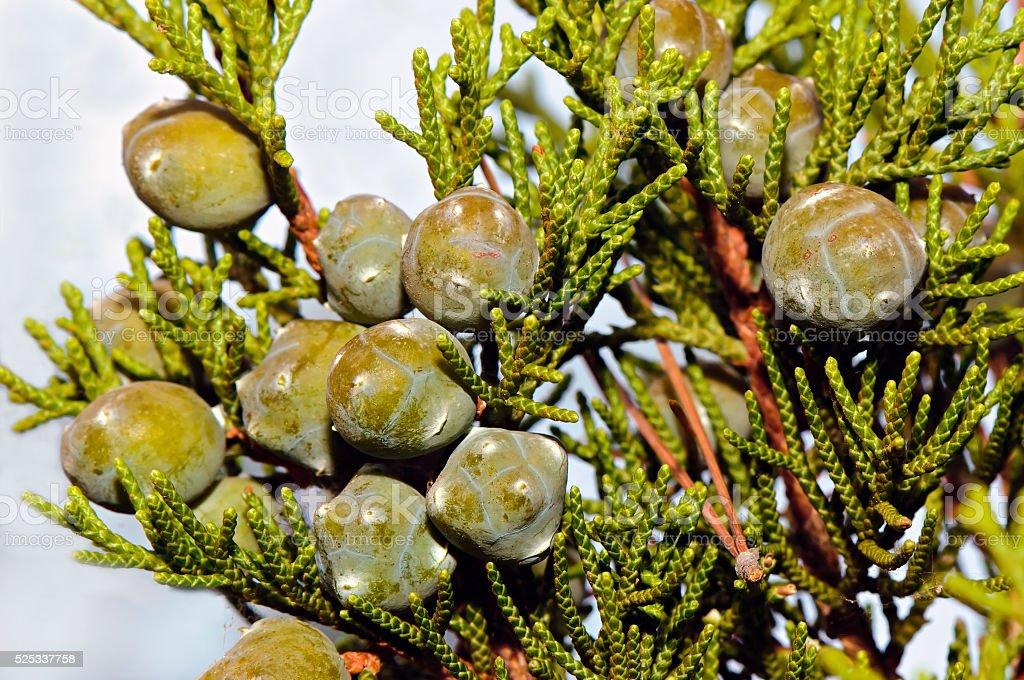 Mediterranean cypress (Cupressus sempervirens) stock photo
