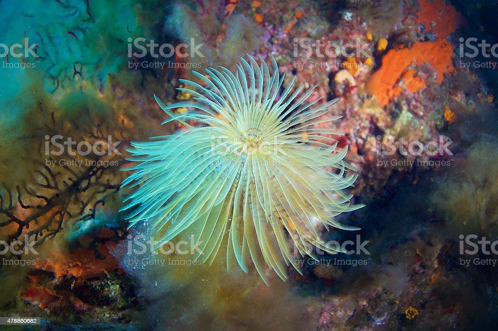 Mediterranean fanworm stock photo