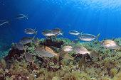 Mediterranean fishes
