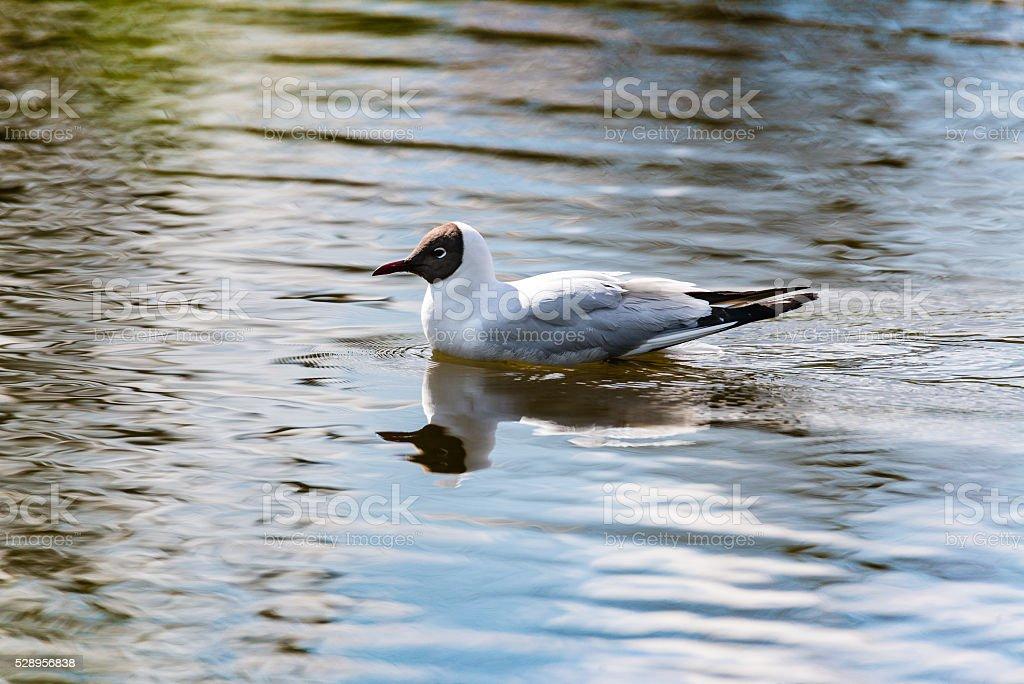 Mediterranean Gulls in small natural lake stock photo